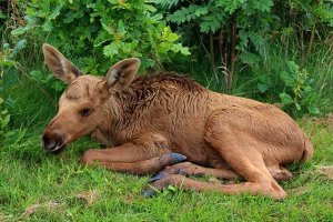 A moose calf on a visit